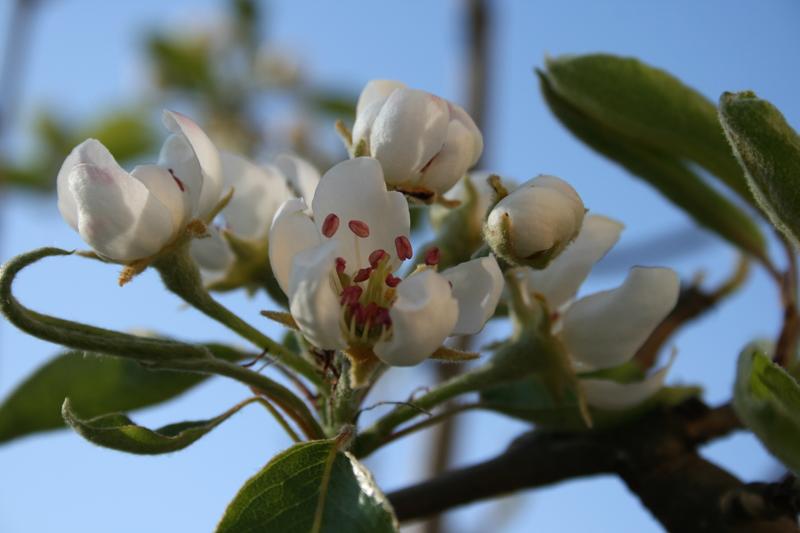 birnenblüte01