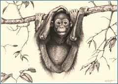 'Hanging Around' - Orang Utan - Fine Art Pencil Drawings  www.drawntonature.co.uk (kjhayler) Tags: pictures baby art sumatra monkey wildlife picture center naturalhistory borneo orangutan ape prints monkeys primate apes sepilok orang utan monkies rehab primates animalart orangutang wildanimals orangutans singaporezoo animalprints orangs wildlifeimages drawingpictures animalpictures wildlifeart orangutangs babyorangutan wildlifephotography wildlifephotos animalphotos animaldrawings wildlifeartists naturepictures orangutansanctuary monkeyphotos monkeypictures borneoorangutan babyorangs wildlifeportraits wildpictures monkeypicture animalspictures openedition babyorang wildlifeartist picturesofmonkeys wildlifedrawings drawingphotographs kevinhayler orangutanphoto photosoforangutans orangutanpicture orangutanpictures picturesorangutan orangutanspictures photoorangutans photosorangutans picturesofapes pictureorangutan picturesorangutans picturesoforangutans orangutanphotos photoorangutan picturesmonkeys picturemonkey picturesofprimates primatepictures