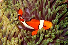 Clownfish at Similan Islands, Thailand (_takau99) Tags: ocean trip travel sea vacation holiday fish macro uw nature water topv111 thailand island lumix islands topv555 topv333 marine underwater topv1111 topv999 indianocean topv444 january scuba diving topv222 eastofeden panasonic explore clownfish tropical scubadiving topv777 2008 topv666 topf10 topf15 thewall anemonefish similan andaman andamansea topv888 similanislands topf5 amphiprionocellaris ocellaris amphiprion clownanemonefish takau99 pomacentridae dmcfx30 similan7