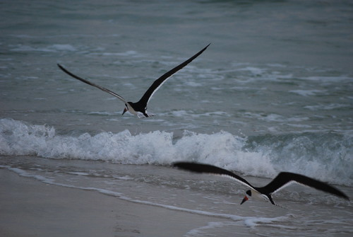 Skimmers at the water's edge