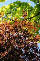 Acer to heaven ! (guybamboe) Tags: spring nederland loveit acer palmatum d300 boskoop guybamboe nikond300 alwayscomment5 esveld