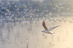 Siberian Seagull