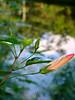 à beira da lagoa (Silvianasci) Tags: água flor botão hibisco lagoa reflexo corderosa simno anawesomeshot explore2009 silvianasci