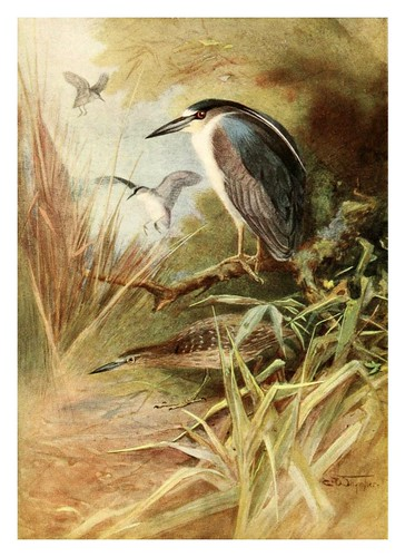 016-Garza nocturna-Egyptian birds for the most part seen in the Nile Valley (1909)- Charles Whymper