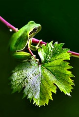 Explore:small frog on vine leaves....!!! (Ignazio Corda) Tags: nature colors photo stream small vine explore composizione d300 elaborazione animalkingdomelite theunforgettablepictures nikond300 beautifulmonsters photobyigcor elaborazionibyigcor