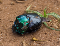 Flickr: Dung Beetle, Mazumbai Forest, Usambara Mountains, Tanzania