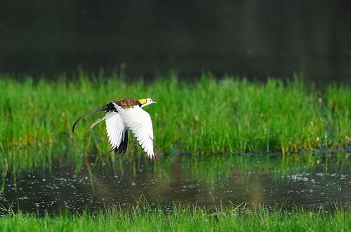 水雉的美麗身影會不會,永遠在台灣消失呢?(攝影:李進裕)