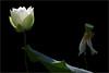 Lotus Flower Macro - IMG_1617 (Bahman Farzad) Tags: flower macro yoga peace lotus relaxing peaceful meditation therapy lotusflower lotuspetal lotuspetals lotusflowerpetals lotusflowerpetal
