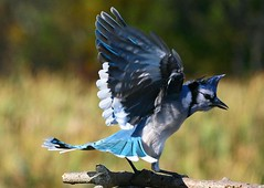 Ballet Of The Jays (tinyfishy) Tags: ballet bird flying inflight dancing bluejay outstandingshots outstandingshot anawesomeshot superbmasterpiece diamondclassphotographer