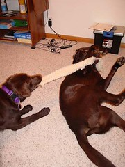 Lab Brats playing tug