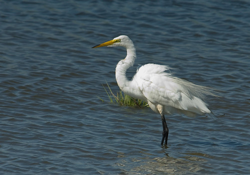 Egret the Great