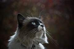 Watching the sky (Jsome1) Tags: cats portugal cat nikon sigma siamese d40 bestofcats theunforgettablepictures tup2