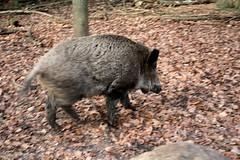 IMG_0480 (LearningTour) Tags: wild en berg wilde bos veluwe zwijn zwijnen everzwijnen varkers