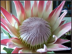 Protea Cynaroide, King Pink 3 (bodulka) Tags: flowers macro nature garden priroda protea top20flowers cvijece kingpink top20pink macrophotosnolimits wonderfulworldmix everywherewalks macroflowerlovers wonderfulworldofmacro