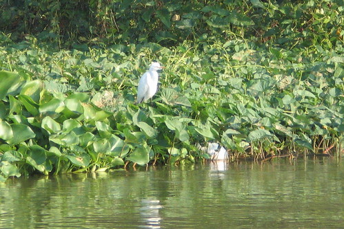 Cattle Egret on the Chao Phraya