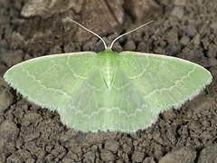 Synchlora aerata 20070808_4544 (GORGEous nature) Tags: washington moth august lepidoptera skamaniaco geometridae wa bluelake gunrange gravelpit synchlora synchloraaerata geometrinae synchlorini mona7058 ©johndavis