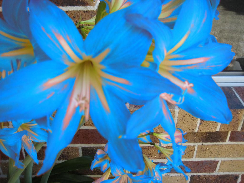 Australia lily amateur
