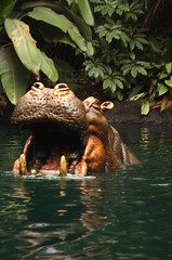 hippo! (alisawindsor) Tags: christmas disneyland junglecruise 2007