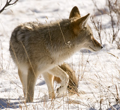 Coyote (Bonnie Bowne) Tags: coyote winter wild snow animal mammal nationalpark colorado wildlife rmnp rockymountainnationalpark canid