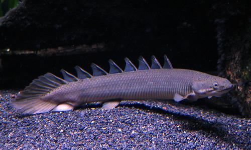 Dinosaur eel - photo#39