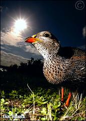 Francolin (Eric Palmer) Tags: africa food sun birds hoop de bread nikon d70 south flash feathers fisheye eat cape feed 16mm francolin sb24