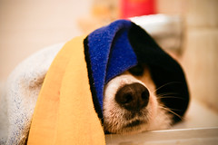 Not Her Best Day (Heather L. Shannon) Tags: california blue dog wet yellow canon fur bathroom nose losangeles corgi bath pembrokewelshcorgi towel dirty clean whiskers longbeach tub digitalrebel nabby 50mmlens
