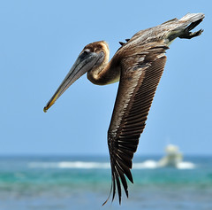 Pelicans In Motion...Part Four of Four (ozoni11) Tags: bird pelicans nature birds animal animals fly flying interestingness wings nikon florida flight wing pelican explore brownpelican 248 boyntonbeach brownpelicans d300 naturesfinest pelecanusoccidentalis interestingness248 i500 animaladdiction explore248 michaeloberman platinumphoto ozoni11 avianexcellence