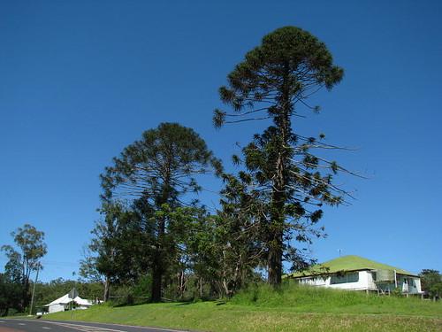 Araucaria bidwillii in Herberton