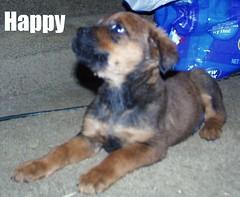 Happy (muslovedogs) Tags: dogs puppy mastweiler zeusoffspring myladyoffspring