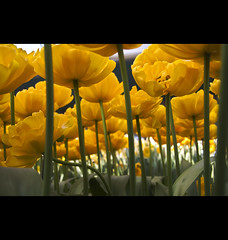 Tulips (siebe ) Tags: flower holland dutch nederland thenetherlands tulip soe keukenhof bloem tulp lisse mywinners abigfave fotokeukenhof