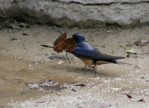 Barn Swallow trying out a leaf