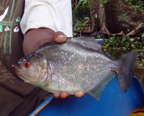 black piranha - Serrasalmus rhombeus