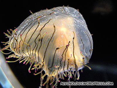Top view of the same jellyfish