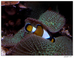 Cache-cache (Greyshift11) Tags: life sea mer france lumix dragon nemo clown panasonic bleu g1 mm 45mm dory dmc geant poissons 1445 200mm crabe 14mm murene crabzilla hippocampe chirurgien hippocampes dmcg1