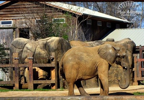 Elephant Knoxville Zoo with watermark
