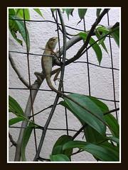 Garden fence lizard on vining Bauhinia Kockiana, shot October 2, 2007