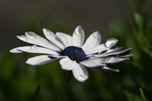 Watered Daisy