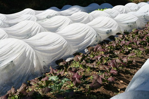 Mustard Greens growing among the tented rows - tenting provides protection against frost and pests