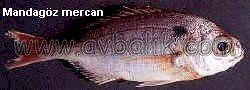 2054651201 a66a343a09 mercan balığı nasıl avlanır