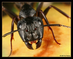 Ant Portrait (mplonsky) Tags: portrait macro eye nature face animal closeup mouth bug insect eyes critter ant extreme topv999 insects fv5 bugs creepy fv10 soe pincers extrememacro naturesfinest supershot macrolicious plonsky 25faves mywinners shieldofexcellence anawesomeshot impressedbeauty megashot macrophotosnolimits betterthangood