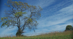 this is my favorite sky picture.. (Backroad Drifter) Tags: trees ohio leaves onetree connetta justtrees lonesometree treeshots backroaddrifter backraoddrifter treescenes alltrees