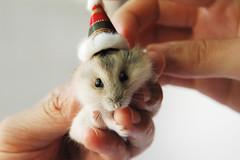 Hey! Merry Christmas! (EricFlickr) Tags: christmas xmas pet pets cute animal animals taiwan hamster