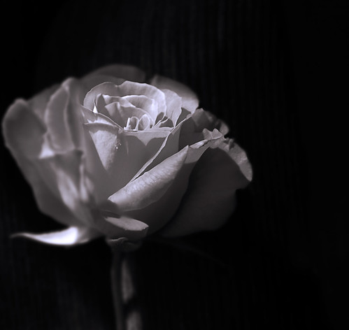 black and white photography roses. lack amp; white rose