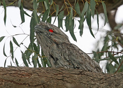 Red-eyed (mgjefferies) Tags: birds australia queensland morepork tawnyfrogmouth podargusstrigoides pc4380 mgjefferies