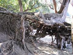 image71 (k cera) Tags: tree beach roots kauai keebeach