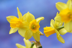 Daffodils (Steve's Track) Tags: flowers daffodils thebestyellow