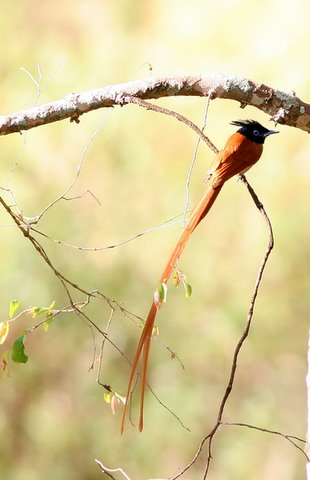 rufous male asian paradise flycatcher k gudi 180308