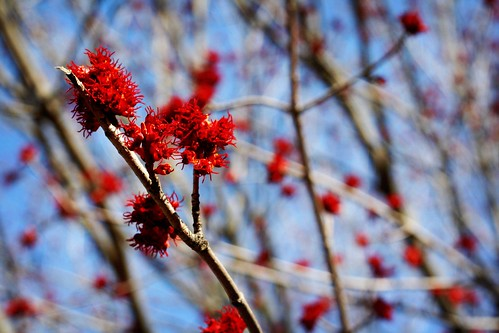 red buds