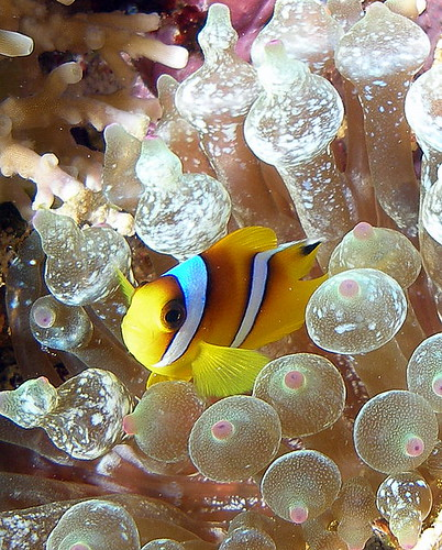Red sea Anemonefish ( Juvenile ) / Anel Van Veelen