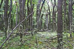 Lago Desierto (billy3001) Tags: patagonia santacruz forest lago desierto campephilusmagellanicus
